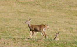Gruppo dei cervi dalla coda bianca Immagine Stock