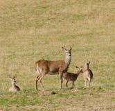 Gruppo dei cervi dalla coda bianca Fotografia Stock