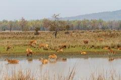 Gruppo dei cervi di Barasingha in India fotografia stock libera da diritti
