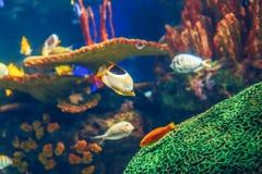 Gruppo del banco di molti pesci tropicali gialli rossi in acqua blu con la barriera corallina, mondo subacqueo variopinto Immagini Stock Libere da Diritti