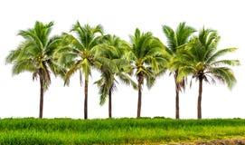 Gruppo del cocco Fotografie Stock