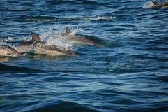 Gruppo del delfino comune Fotografia Stock