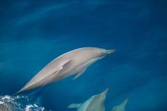 Gruppo del delfino di Bottlenose fotografia stock libera da diritti