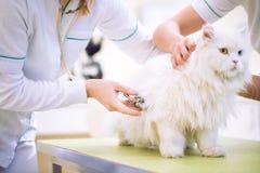 Gruppo del gatto persiano dell'esame veterinario alla clinica dell'animale domestico immagine stock libera da diritti