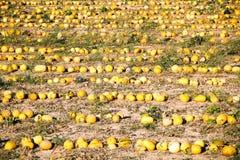 Gruppo del melone nel verde dell'azienda agricola Fotografie Stock