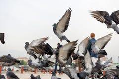 Gruppo del piccione di volo della colomba, gruppo timido giù la via Immagini Stock Libere da Diritti