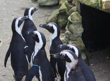 Gruppo del pinguino Fotografia Stock Libera da Diritti