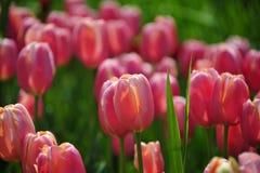 Gruppo del tulipano Immagine Stock Libera da Diritti