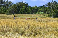 Gruppo dell'agricoltore e giallo del campo Fotografie Stock