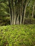 Gruppo dell'albero Immagine Stock Libera da Diritti