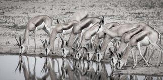 Gruppo dell'antilope saltante al foro di innaffiatura Immagine Stock