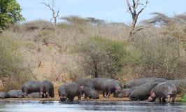 Gruppo dell'ippopotamo sul riverbank Fotografia Stock