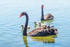 Gruppo della famiglia del cigno nero fotografia stock