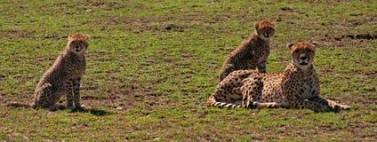 Gruppo della famiglia del ghepardo Immagini Stock Libere da Diritti