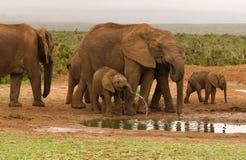 Gruppo della famiglia di bere degli elefanti Immagine Stock