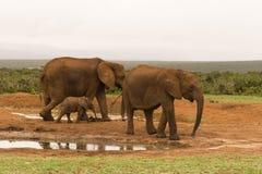 Gruppo della famiglia di bere degli elefanti Fotografia Stock Libera da Diritti