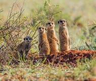 Gruppo della famiglia di Meerkat Fotografie Stock Libere da Diritti