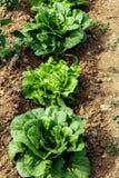 Gruppo della pianta delle lattughe in giardino Fotografia Stock Libera da Diritti