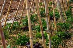 Gruppo della pianta di pomodori in giardino Immagine Stock