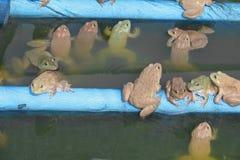 Gruppo della rana nell'azienda agricola Fotografie Stock