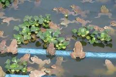 Gruppo della rana nell'azienda agricola Fotografia Stock