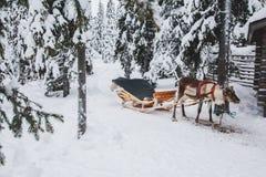 Gruppo della renna Cervi soli, Rukka, Finlandia Immagini Stock Libere da Diritti