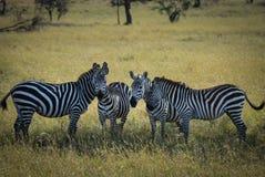 Gruppo della zebra Immagine Stock