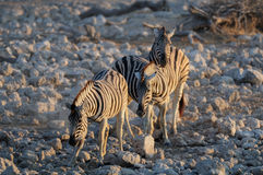 Gruppo della zebra del ` s di Burchell Fotografie Stock
