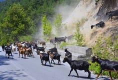 Gruppo delle capre Immagine Stock
