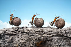 Gruppo delle formiche Rolling Stone su roccia, lavoro di squadra Fotografia Stock