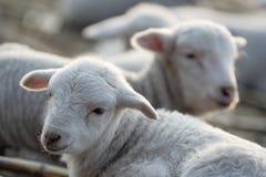 Gruppo di agnelli in un'azienda agricola. Fotografia Stock