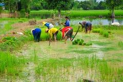 Gruppo di agricoltori che coltivano riso su terreno coltivabile Fotografia Stock