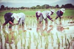 Gruppo di agricoltori che lavorano ad un giacimento del riso Fotografia Stock Libera da Diritti