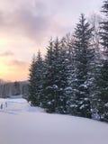 Gruppo di alberi attillati gelidi Fotografia Stock Libera da Diritti