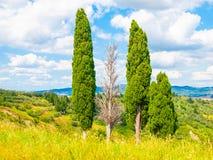 Gruppo di alberi di cipresso nel paesaggio di estate della Toscana, Italia Immagine Stock