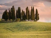 Gruppo di alberi di cipresso al crepuscolo con il rosa di giro del cielo Immagini Stock