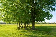 Gruppo di alberi nel campo di estate Fotografie Stock Libere da Diritti