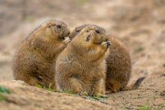 Gruppo di alimentazione sveglia delle marmotte Fotografie Stock Libere da Diritti