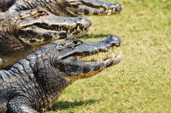 Gruppo di alligatore selvaggio che prende un sunbath su erba in Pantanal Fotografia Stock