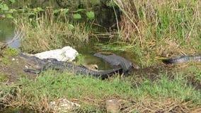 Gruppo di alligatori americani al parco nazionale dei terreni paludosi in Florida video d archivio