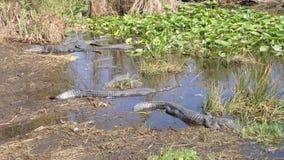 Gruppo di alligatori americani al parco nazionale dei terreni paludosi in Florida archivi video