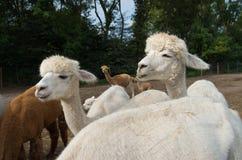 Gruppo di alpaca Immagine Stock Libera da Diritti