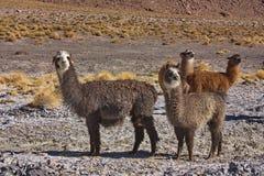 Gruppo di alpaca Fotografie Stock Libere da Diritti