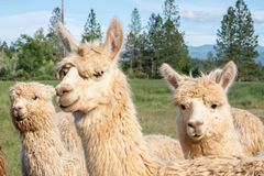 Gruppo di alpaca bianca in un pascolo Immagine Stock