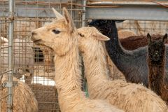 Gruppo di alpaca in una penna di tenuta Fotografia Stock Libera da Diritti