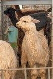 Gruppo di alpaca in una penna di tenuta Fotografia Stock