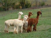 Gruppo di Alpacas in un pascolo verde Fotografie Stock