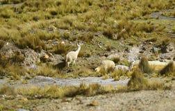 Gruppo di Alpcacas che pasce nel campo delle saline y Aguada Blanca National Reserve, regione di Arequipa, Perù fotografia stock libera da diritti