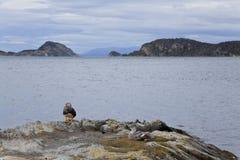 Gruppo di anatre al parco nazionale della Terra del Fuoco Fotografia Stock