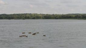 Gruppo di anatre che nuotano attraverso il lago al rallentatore, foresta sull'orizzonte, giorno di estate nuvoloso stock footage
